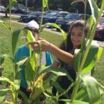 cornharvest3